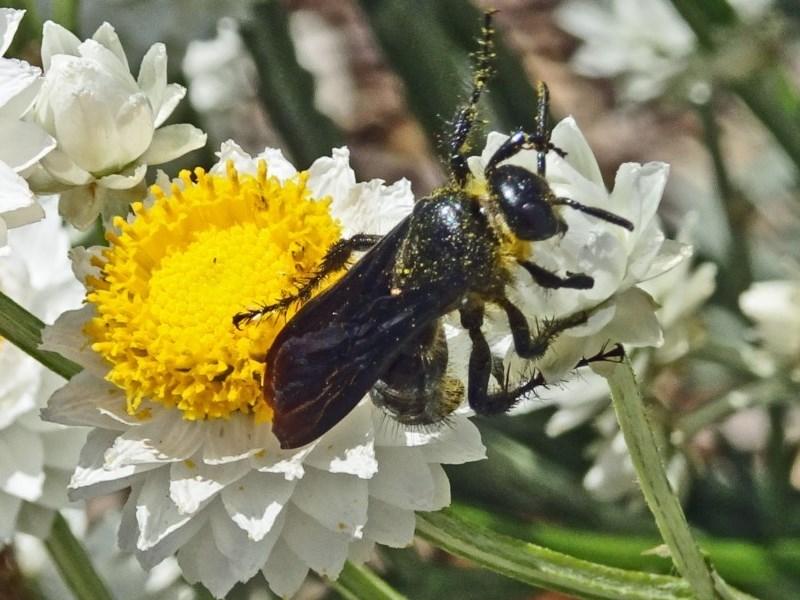 Austroscolia soror at Sth Tablelands Ecosystem Park - 23 Nov 2017