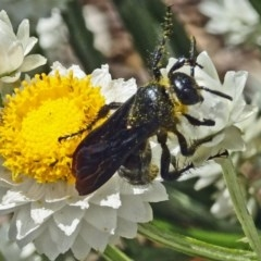 Austroscolia soror (Blue-winged flower wasp) at Sth Tablelands Ecosystem Park - 22 Nov 2017 by galah681