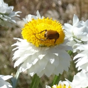 Phyllotocus rufipennis at Sth Tablelands Ecosystem Park - 23 Nov 2017