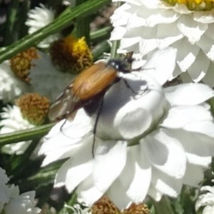 Phyllotocus navicularis at Sth Tablelands Ecosystem Park - 30 Nov 2017