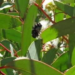 Rutilia sp. (genus) (A Rutilia bristle fly, subgenus unknown) at Sth Tablelands Ecosystem Park - 30 Nov 2017 by galah681