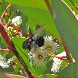 Rutilia sp. (genus) at Sth Tablelands Ecosystem Park - 30 Nov 2017