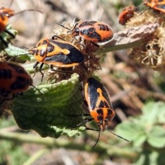 Agonoscelis rutila (Horehound bug) at Jerrabomberra Wetlands - 26 Feb 2018 by RodDeb