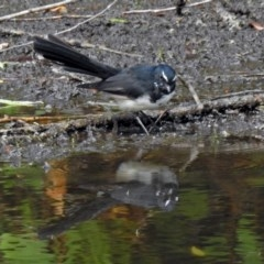 Rhipidura leucophrys (Willie Wagtail) at Jerrabomberra Wetlands - 26 Feb 2018 by RodDeb