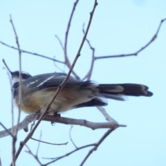 Rhipidura fuliginosa (Grey Fantail) at Red Hill Nature Reserve - 27 Feb 2018 by JackyF