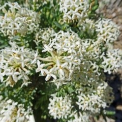 Pimelea glauca (Smooth Rice Flower) at Sth Tablelands Ecosystem Park - 2 Nov 2017 by galah681