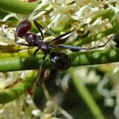 Iridomyrmex purpureus (Meat Ant) at Sth Tablelands Ecosystem Park - 2 Nov 2017 by galah681