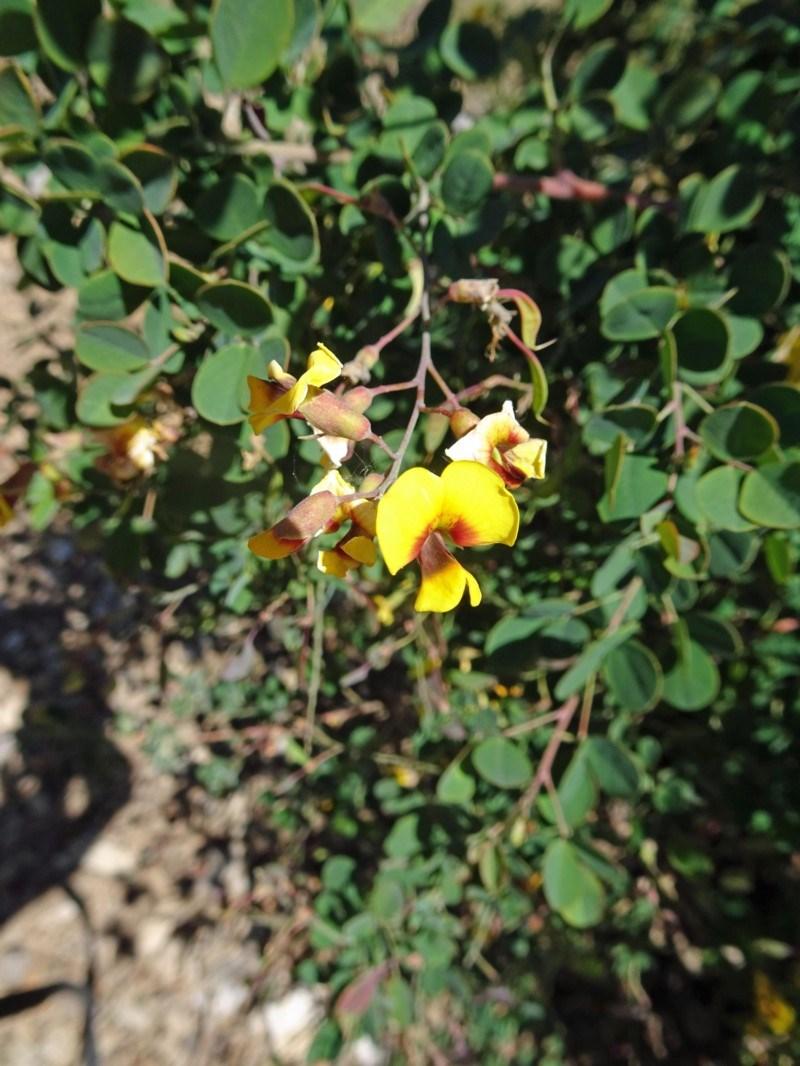 Goodia lotifolia at Sth Tablelands Ecosystem Park - 2 Nov 2017
