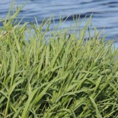 Paspalum distichum (Water Couch) at Jerrabomberra Wetlands - 13 Dec 2017 by michaelb