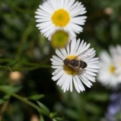 Villa sp. (genus) (Unidentified Villa bee fly) at Murrumbateman, NSW - 1 Mar 2018 by SallyandPeter