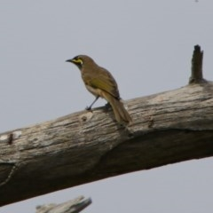 Caligavis chrysops (Yellow-faced Honeyeater) at Jerrabomberra Wetlands - 2 Mar 2018 by RodDeb