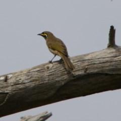 Caligavis chrysops (Yellow-faced Honeyeater) at Jerrabomberra Wetlands - 2 Mar 2018 by RodDeb