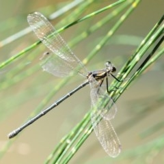 Austroargiolestes icteromelas (Common Flatwing) at Coree, ACT - 1 Mar 2018 by KenT
