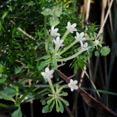 Poranthera microphylla at Namadgi National Park - 1 Mar 2018