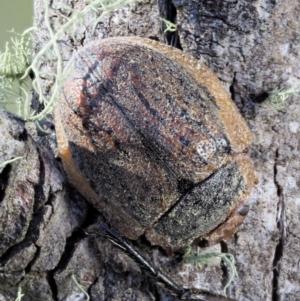 Trachymela sp. (genus) at Namadgi National Park - 1 Mar 2018