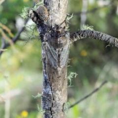 Tettigarcta crinita at Namadgi National Park - 1 Mar 2018