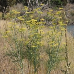 Foeniculum vulgare (Fennel) at Molonglo River Park - 18 Feb 2018 by michaelb