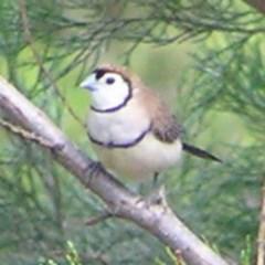 Taeniopygia bichenovii (Double-barred Finch) at Belconnen, ACT - 2 Mar 2018 by MatthewFrawley