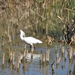 Platalea regia (Royal Spoonbill) at Jerrabomberra Wetlands - 25 Jan 2018 by natureguy