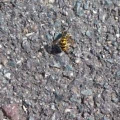 Vespula germanica (European wasp) at Queanbeyan, NSW - 3 Mar 2018 by natureguy