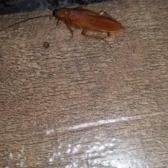 Escala sp. (genus) (Escala cockroach) at Wamboin, NSW - 30 Jan 2018 by natureguy