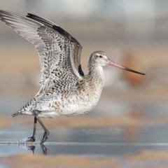 Limosa lapponica (Bar-tailed Godwit) at Pambula - 23 Feb 2018 by Leo