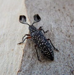 Rhipicera (Agathorhipis) femorata (Feather-horned beetle) at Mount Painter - 3 Mar 2018 by CathB