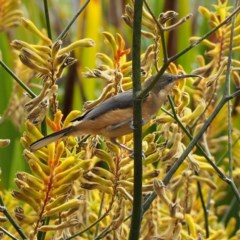 Acanthorhynchus tenuirostris (Eastern Spinebill) at ANBG - 4 Mar 2018 by David