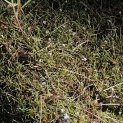Limosella australis (Austral Mudwort) at Molonglo River Park - 18 Feb 2018 by michaelb