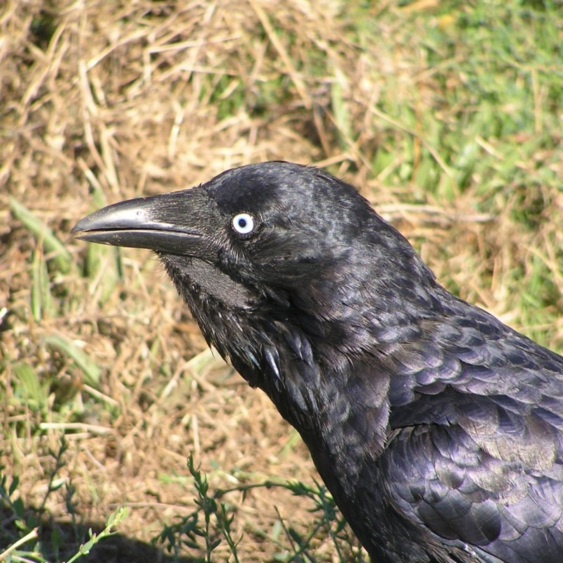 Corvus coronoides at Jerrabomberra Wetlands - 4 Mar 2018