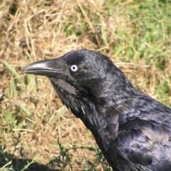 Corvus coronoides (Australian Raven) at Jerrabomberra Wetlands - 3 Mar 2018 by MatthewFrawley