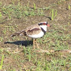 Elseyornis melanops (Black-fronted Dotterel) at Jerrabomberra Wetlands - 3 Mar 2018 by MatthewFrawley