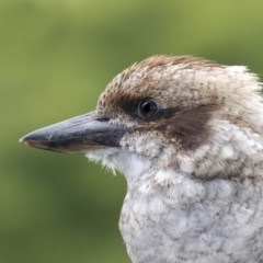 Dacelo novaeguineae (Laughing Kookaburra) at Merimbula, NSW - 4 Mar 2018 by Leo