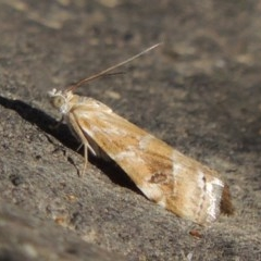 Hellula hydralis (Cabbage Centre Moth) at Molonglo River Park - 18 Feb 2018 by michaelb