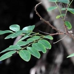 Breynia oblongifolia (Coffee Bush) at Guerilla Bay, NSW - 27 Feb 2018 by MaxCampbell