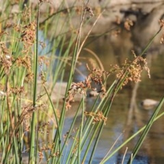 Schoenoplectus validus (River Club-rush) at Molonglo River Park - 18 Feb 2018 by michaelb