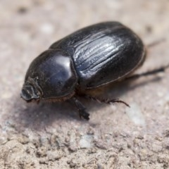Heteronychus arator (African black beetle) at Higgins, ACT - 5 Mar 2018 by Alison Milton