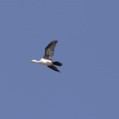 Microcarbo melanoleucos (Little Pied Cormorant) at Tuggeranong DC, ACT - 4 Mar 2018 by Alison Milton