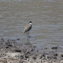 Vanellus miles (Masked Lapwing) at Tuggeranong DC, ACT - 4 Mar 2018 by Alison Milton