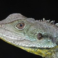 Intellagama lesueurii (Eastern Water Dragon) at ANBG - 5 Mar 2018 by roymcd