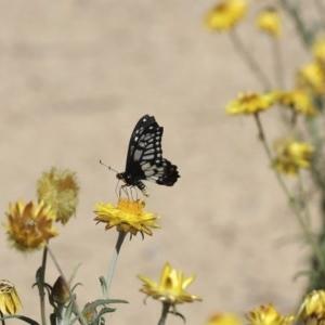 Papilio anactus at ANBG - 1 Mar 2018