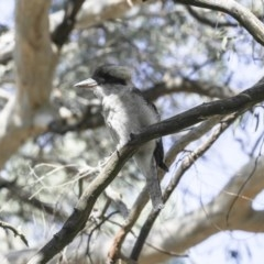 Dacelo novaeguineae (Laughing Kookaburra) at ANBG - 28 Feb 2018 by Alison Milton