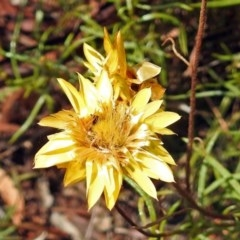 Xerochrysum viscosum (Sticky everlasting) at Red Hill Nature Reserve - 5 Mar 2018 by RodDeb