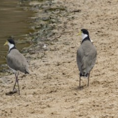 Vanellus miles (Masked Lapwing) at Lake Ginninderra - 9 Feb 2018 by Alison Milton