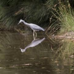 Egretta novaehollandiae (White-faced Heron) at Lake Ginninderra - 9 Feb 2018 by Alison Milton