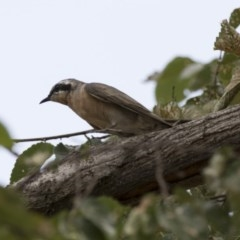 Chalcites osculans (Black-eared Cuckoo) at Lake Ginninderra - 9 Feb 2018 by Alison Milton