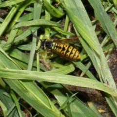 Vespula germanica (European wasp) at Higgins, ACT - 27 Feb 2018 by Alison Milton