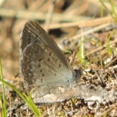 Zizina otis (Common Grass-blue) at Molonglo River Park - 18 Feb 2018 by michaelb