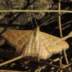 Scopula rubraria (Reddish Wave) at Molonglo River Park - 18 Feb 2018 by michaelb