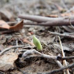 Speculantha rubescens (Blushing tiny greenhood) at Aranda Bushland - 5 Mar 2018 by CathB